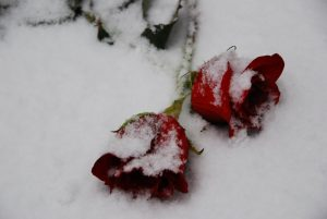 picture of roses in snow